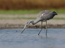 Ardea cinerea. In the natural environment Stock Image