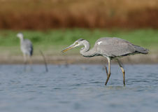 Ardea cinerea. In the natural environment Stock Photo