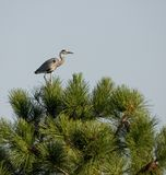 Ardea cinerea resting in a pine tree. royalty free stock images