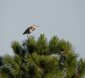 Ardea cinerea resting in a pine tree. stock photography