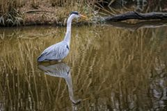 Ardea cinerea wildlife. Ardea cinerea in natural habitat Royalty Free Stock Image