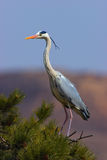 Ardea cinerea(16) Stock Photos