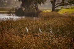 Ardea de três a caça alba do grande Egrets para peixes em Elkhorn muda a reserva Moss Landing, Califórnia Foto de Stock Royalty Free