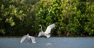 Ardea dos egrets da luta o grande alba imagem de stock