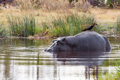 Ardea Golia appollaiato sulla parte posteriore dell'ippopotamo Fotografie Stock Libere da Diritti