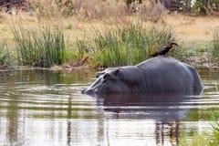 Ardea goliath op de rug die van hippo wordt neergestreken Royalty-vrije Stock Foto's