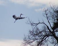 Ardea herodias -在飞行中伟大蓝色的苍鹭的巢 库存照片