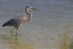 Ardea herodias. Great Blue Heron (Ardea herodias) taking fishing in the bay, get ready to catch a fish Stock Image