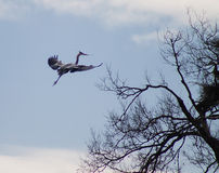 Ardea herodias - Great Blue Heron in flight Stock Photos