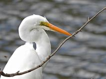 Ardea modesta (Eastern Great Egret). The Great Egret with white plumage and, for most of the year, when not breeding, the bill and facial skin are yellow royalty free stock photos