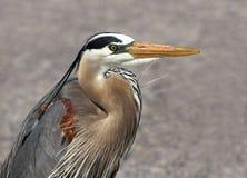 ardea niebieskie największych herodias heron Fotografia Stock