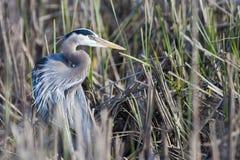 ardea niebieskie największych herodias heron Zdjęcia Royalty Free