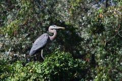 ardea niebieskie największych herodias heron Zdjęcie Royalty Free