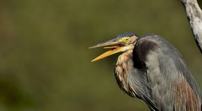 Ardea purpurea or the Purple heron with beaks open. Behavior of herons to keep their beaks open and break occasionally. Purple herons are colonial breeders and stock photos