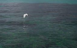 Ardeidae που πετά στη θάλασσα Στοκ Εικόνα