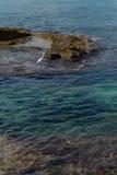 Ardeidae på kusten som finner mat Royaltyfria Foton