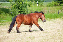 Ardennes Cart Horse. Beautiful Ardennes Cart Horse trotting on the paddock royalty free stock photo
