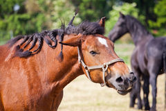 Ardennes Cart Horse shaking head. Beautiful Ardennes Cart Horse shaking its head royalty free stock photo