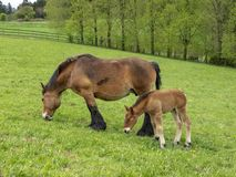 Ardennes foal standing next to its grazing mother stock photography