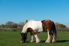 Ardennes häst på gräsäng royaltyfria bilder