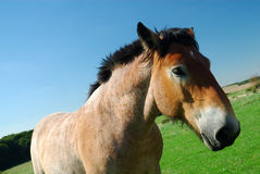 Ardennes horse on blue sky Royalty Free Stock Image