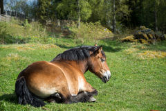 Ardennes horse resting. On a sunny day in early May in the Swedish countryside of Smaland stock images