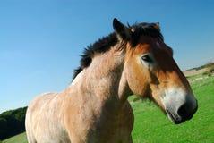 Ardennes-Pferd auf blauem Himmel Lizenzfreies Stockbild