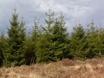 Ardennes pine forest with dried grass in front under dark clouds. In the province of Liege, Belgium Stock Images