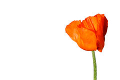 Ardent poppy Royalty Free Stock Photos