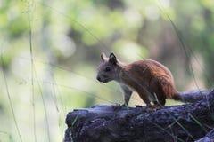 ardilla adolescente asustada en soporte salvaje de la parada del bosque en el rizoma del pino Imágenes de archivo libres de regalías