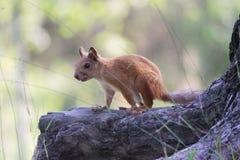ardilla adolescente asustada en soporte salvaje de la parada del bosque en el rizoma del pino Fotos de archivo libres de regalías