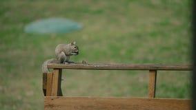Ardilla americana - hudsonicus del Tamiasciurus, sentándose en el parque y la alimentación metrajes