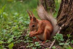 Ardilla anaranjada La ardilla de la r?faga sostiene en sus patas una nuez grande que se sienta en hierba verde en el bosque fotos de archivo