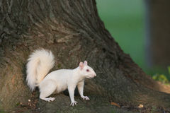 Ardilla blanca en Olney Fotografía de archivo