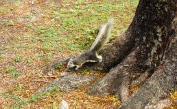 Ardilla blanca que sube abajo un árbol Pequeño animal peludo de mirada lindo Fotografía de archivo libre de regalías