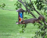 Ardilla codiciosa que roba de alimentador del pájaro Fotografía de archivo libre de regalías
