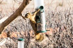 Ardilla cogida en el alimentador del pájaro foto de archivo