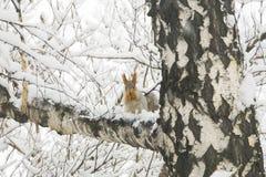 Ardilla con la piel gris y los oídos anaranjados en el árbol de abedul cubierto Foto de archivo libre de regalías