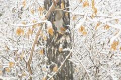 Ardilla con la piel gris y los oídos anaranjados en el árbol de abedul cubierto Fotografía de archivo libre de regalías