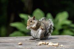 Ardilla con los cacahuetes Imágenes de archivo libres de regalías