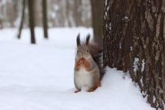 Ardilla con una nuez en bosque del invierno cerca del árbol Fotos de archivo libres de regalías