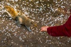 Ardilla de alimentación de la mujer joven en el parque foto de archivo libre de regalías