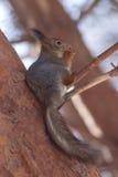Ardilla de Brown que come la tuerca en pino en bosque del invierno Fotos de archivo libres de regalías