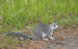 Ardilla de Fox de la península de Delmarva Imagen de archivo