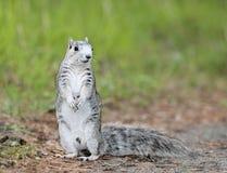 Ardilla de Fox de la península de Delmarva Imagenes de archivo