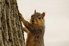 Ardilla de Fox en un árbol Fotos de archivo