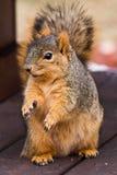 Ardilla de Fox linda que pide el alimento Foto de archivo libre de regalías