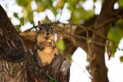 Ardilla de Fox que come una nuez de pacana mientras que se sienta en árbol Imágenes de archivo libres de regalías