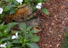 Ardilla de Fox que goza de una nuez en las flores en Dallas Arboretum y los jardines botánicos fotos de archivo libres de regalías