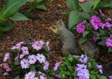 Ardilla de Fox que goza de una nuez en las flores en Dallas Arboretum y los jardines bot?nicos imágenes de archivo libres de regalías